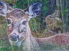 faces (albyn.davis) Tags: portrait nature forest woods wildlife manipulation deer layered