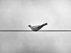 STRING BIRD (didi tokaoui) Tags: white black bird electric photo noir cable and string et didi blanc electrique tokaoui