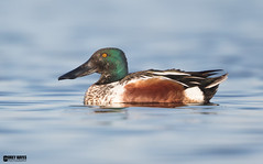 Northern-shoveler (Corey Hayes) Tags: wild nature water wow duck spring pond flat breeding