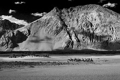 Safary (AM Das) Tags: safari camel ladakh nubra