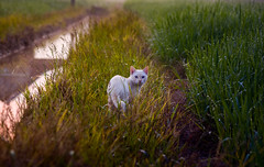 Cat (bdrc) Tags: morning wild nature animal cat sunrise golden furry minolta sony hour stray tele jb 75300mm creature johor simpang f4556 a6000 renggam asdgraphy