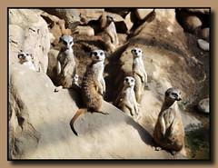 Die Aufpasser (p_jp55 (Jean-Paul)) Tags: animal meerkat luxembourg luxemburg suricate amazonia suricatasuricatta erdmnnchen saarlorlux bettembourg ltzebuerg mrchenpark parcmerveilleux tierhaus surikate bettemburg beetebuerg scharrtier