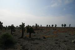 IMG_7631 (chupalo) Tags: lavarocks islasplaza cactiforest
