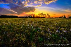 Sprigs of Blue (T i s d a l e) Tags: field rural sunrise dawn spring farm april wildflowers firstlight easternnc tisdale blueflowers wildplants 2016 sprigsofblue