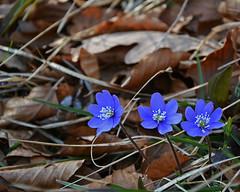 Nel  bosco ... (Giuliana 57) Tags: foglie reflex flora fiori tre azzurro bosco celeste sottobosco fiorellini nikond5200 giuliana57 giulianacastellengo