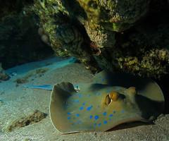 BLUE SPOT AMBUSH (Niall Deiraniya Underwater Photography) Tags: blue coral dangerous marine ray sting