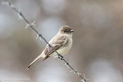 Can't fence me in (rdroniuk) Tags: birds phoebe easternphoebe oiseaux smallbirds sayornisphoebe passerines moucherollephbi passereaux