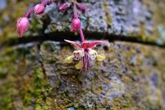 Cocoa tree flower (osoroco) Tags: flower macro flor cocoa cacao