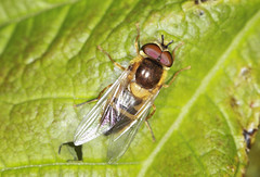Hoverfly - Epistrophe eligans (Prank F) Tags: macro nature closeup insect fly wildlife sandy hoverfly thelodge rspb epistropheeligans bedfordshireuk