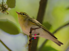 "wood warbler ("" yer tis my ansome "") Tags: devon dartmoor warbler woodwarbler yarnerwood devonbirds grayclements"