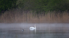 Spring morning mist (Tony McLean) Tags: muteswan naturephotography eastyorkshire mistymorning wildlifephotography tophilllow nikond4 nikon500f4gvr 2016tonymclean