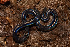 Pied-bellied Shieldtail (theindiannaturalist) Tags: nature beautiful beauty rainforest nocturnal flash goa snakes herp westernghats herpetology nonvenomous amboli herping indiansnakes indianherps