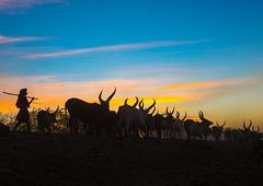 Afar man with his cows back home at sunset in Danakil,  Afambo, Ethiopia (Eric Lafforgue) Tags: africa sunset cows drought ethiopia afar danakil ethio162784