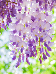 A Bright Sunshiny Day (Steve Taylor (Photography)) Tags: uk greatbritain light england white flower green london sunshine day purple blossom unitedkingdom sunny gb mauve highkey jimmycliff wisteria wysteria hikey sunshiny icanseeclearlynow