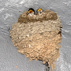 baby swallows (kexi) Tags: brown birds canon turkey square grey babies nest may swallows 2015 instantfave