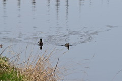 (dinapunk) Tags: reflection water river duck cz vltava kamyk