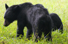 DSC09238 (God's World, USA) Tags: bear mountains tennessee wildlife great mother cubs smoky blackbear reservation cadescove smockymountains