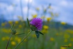 Spring colours (JCarlos.) Tags: pink sky flores flower verde green primavera 50mm spring amarillo campo prado yelllow