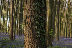 Hallerbos ivy (rvanhegelsom) Tags: wood flowers blue trees plant flower color colour tree green nature floral beautiful bluebells fairytale forest landscape spring woods flora colorful belgium natural colourful sequoia halle hallerbos