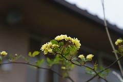 _DSC2024 (Osamu1965) Tags: flower japan zeiss garden spring sony contax jp   okayama     a7m2  carlzeissvariosonnart2870mmf3545mm