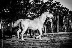 _DSC8740 (Izaias Lus) Tags: brasil caballos photography photographie cavalos equestrian equine nordeste chevaux equino haras equestre garanhunspe