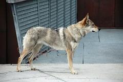 Longyearbyen, Svalbard (carina.ericsson) Tags: dog museum svalbard longyearbyen