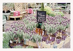 The Garden Centre , Lindley Huddersfield (Taimoor-Busy) Tags: leica nature 35mm diy fuji superia lavender 1600 mp summilux development fle c41 digibase
