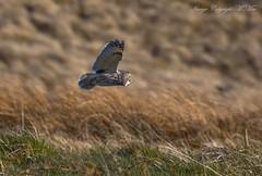 'Long-eared Owl' hunting. (nondesigner59) Tags: nature wildlife hunting flight predator longearedowl moorland asiootus nondesigner nd59 copyrightmmee eos7dmkii