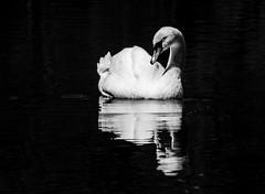 tired swan (Florian Grundstein) Tags: blackandwhite bird nature water monochrome bayern mirror swan olympus oberpfalz mft