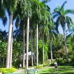 Jamaica: Palm forest at Cranbrook Forest Park / Ocho Rios thumbnail