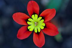 Sparaxis tricolour, Harlequin flower (natureloving) Tags: flower macro nature nikon d90 afsvrmicronikkor105mmf28gifed harlequinflower natureloving flowersinfrance flowersineurope fleursenfrance sparaxistricolour
