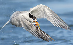 Close by flight (bmse) Tags: fish water canon drops fishing l prey f56 salah bolsachica 400mm eleganttern wingsinmotion 7d2 bmse baazizi