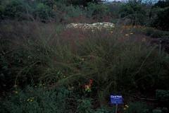 starr-980602-4388-Russelia_equisetiformis-habit-Enchanting_Floral_Gardens_of_Kula-Maui (Starr Environmental) Tags: russeliaequisetiformis