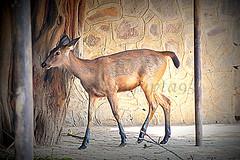 THE FOUR-HORNED ANTELOPE OR CHOUSINGHA (WandererSana) Tags: travel india animal animals photography niceshot outdoor delhi sony deer dslr hdr photooftheday picoftheday bestshot travelphotography sonyalpha sonydslr