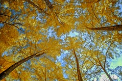 Look up! (_Opit_) Tags: tree nature colors lookup infrared wowiekazowie