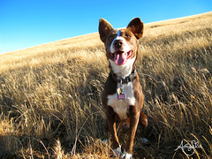 Brown Dog (Galactic Dreams) Tags: world california park blue summer sky dog love nature fun living mix collie bc meg bluesky canine hills explore browndog cutedog bordercollie pup angela companion mixedbreed rollinghills ebrp bdm whitedog kelpie happydog blackdiamondmines yellowhills goldenhills brownandwhitedog goldenhillside galacticdreams doginsummer happyoutdoors