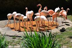Flamingos - Tiergarten Hellbrunn Salzburg (01) (Stefan_68) Tags: salzburg bird animal zoo austria sterreich flamingo pssaro tierpark oiseau tiergarten tier vogel pjaro uccello chileanflamingo hellbrunn flamant chileflamingo salzburgerzoo flamantduchili tierparkhellbrunn