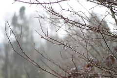 Raindrops on New Branches. (caseyfolchard) Tags: winter cold tree nature beautiful rain grey drops melting branch details minimal raindrops