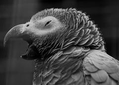 Exotic bird  BW (ronin65) Tags: fuji parrot xt10 xf60mm