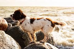 FAN_3708 (Flemming Andersen) Tags: sea dog beach dogs water denmark hund dk hurup winther hurupthy northdenmarkregion helligsvej