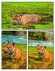 tiger (unique 4 KSA) Tags: animal zoo tiger negara