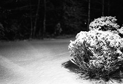 First Snow '16 (SopheNic) Tags: blackandwhite bw snow monochrome night bush iso400 35mmfilm hp5 ilford selfdeveloped id1111 canonelan7e