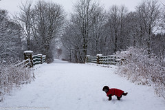 Lochwinnoch in the Snow - Will you stop taking pictures !!! (Neil Sutton Photography) Tags: winter snow tree canon landscape scotland unitedkingdom cycletrack cockapoo wispa renfrewshire lochwinnoch niftyfifty