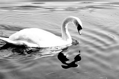 The ugly duckling (*M7*) Tags: blackandwhite bw swan duckling ugly m7 theuglyduckling