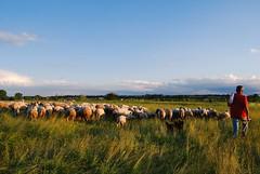 Pastir i ovce (Sareni) Tags: trees light sky tree grass clouds evening spring sheep serbia may vojvodina coban twop srbija nebo 2014 banat drvo trava prolece svetlost oblaci vece drvece livada pasnjak pastir alibunar juznibanat sareni utrina ovcemanimals pastiriovce