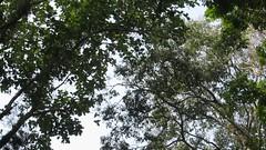 MVI_6702 (Kuruman) Tags: monkey sylhet bangladesh srimangal