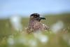 Grand labbe #1 [ Unst ~ Îles Shetland ] (emvri85) Tags: greatbritain scotland unst skua écosse grandebretagne shetlandislands oiseauxdemer theshetlandislands granlabbe