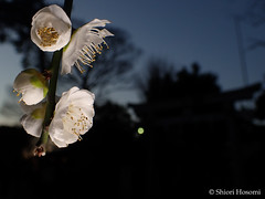 Prunus mume f. pendula (Shiori Hosomi) Tags: flowers plants japan tokyo february   prunus  rosales 2016 rosaceae         23