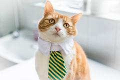 Handsome Herbie (cuppyuppycake) Tags: portrait pet cat nikon stripes handsome tie indoor nikond7200
