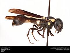 Vespidae: Eumeninae -- Potter Wasp (insectsunlocked) Tags: wasp hymenoptera vespidae eumeninae potterwasp